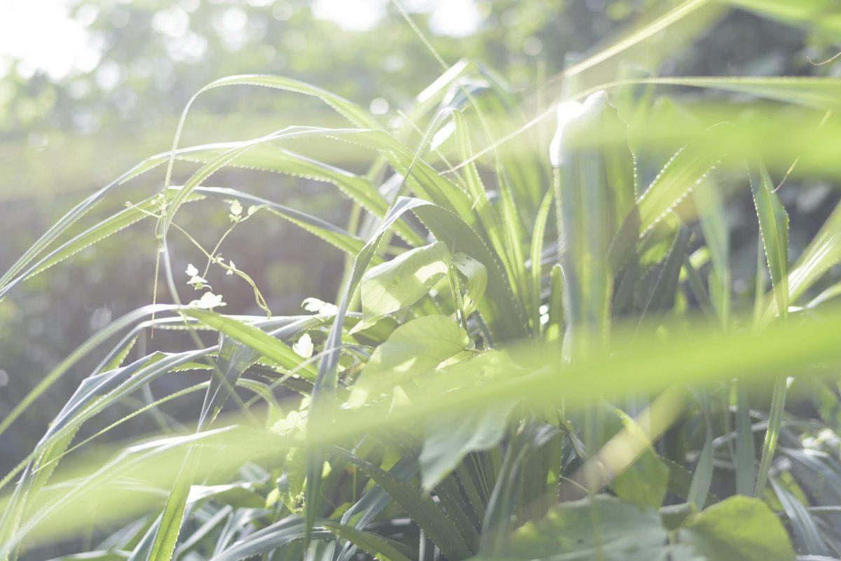 久高島のアダン